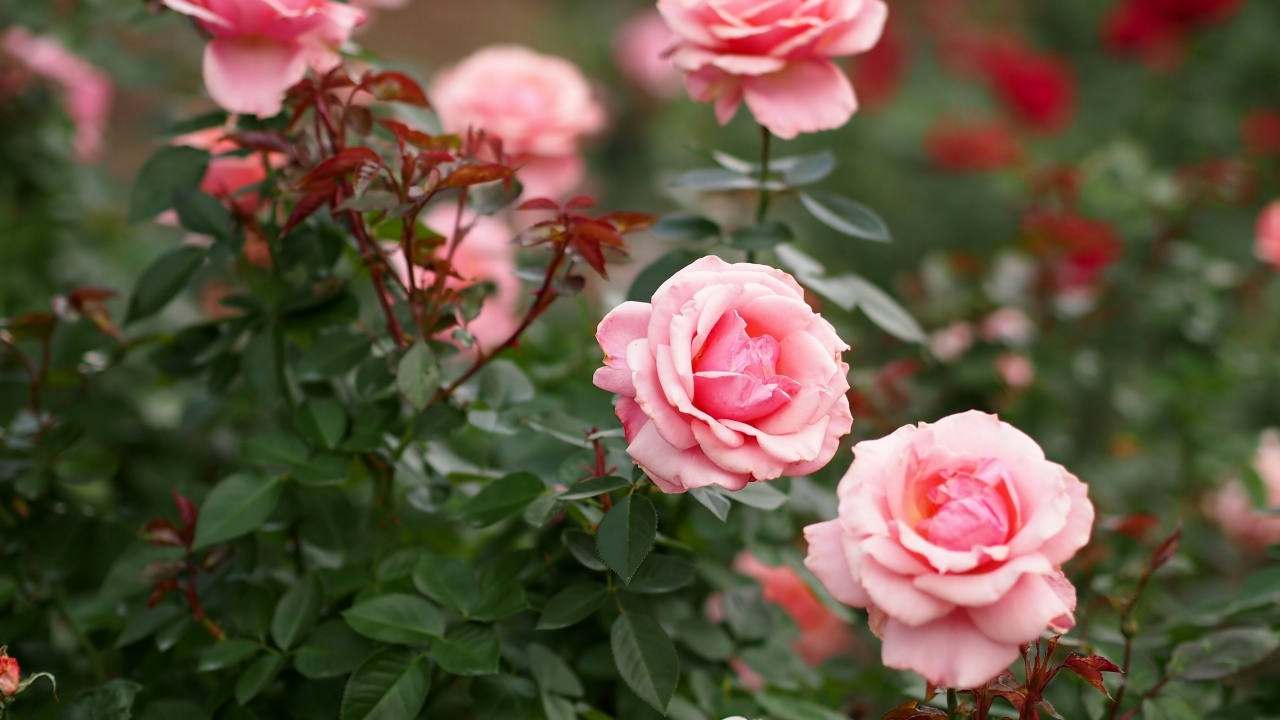 thơ hay về hoa hồng