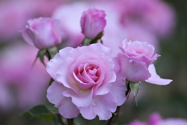 câu thơ ngắn về hoa hồng